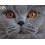 Голубой британский котенок.    Он может стать вашим.
