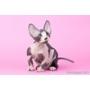 Продаются котята породы канадский сфинкс